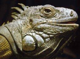 iguana_tonante